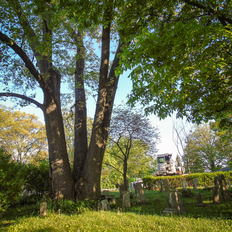 The End Draws Near for the grand old oak at Holy Trinity Cemetery